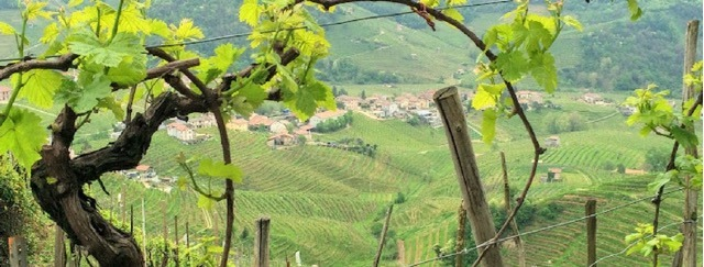 What is prosecco where is the prosecco region Italy vines